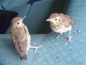 Pair of young thrush